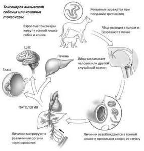 Токсокароз: симптомы и лечение человека, пути заражения, диагностика, профилактика