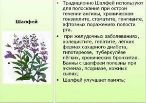 Шалфей: лечебные свойства и противопоказания, применение, побочные действия, народные способы лечения