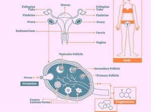 Прогестерон: норма у женщин, причины повышенного, пониженного, симптомы