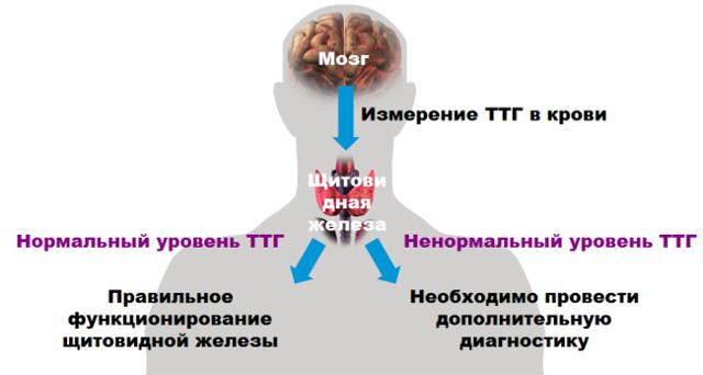 Гипоплазия щитовидной железы: причины, симптомы, лечение