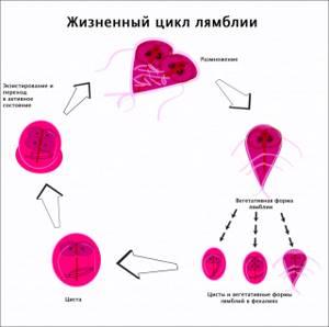 Лямблиоз у взрослых - симптомы, признаки, пути заражения