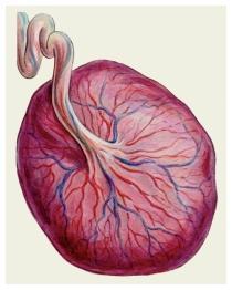 Отслойка плаценты: симптомы, причины на ранних и поздних сроках, лечение